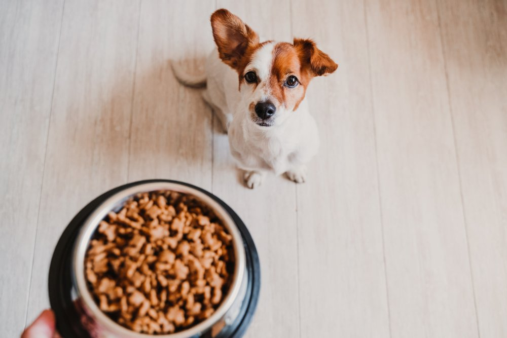 A dog eating food for hypothyroidism