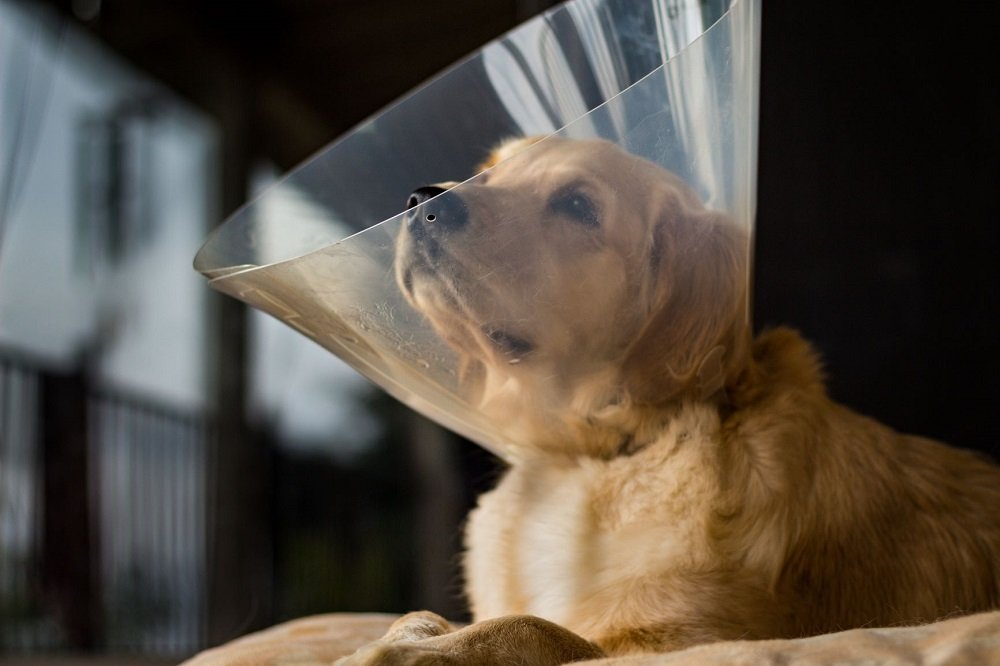 Can A Spayed Dog Go Into Heat